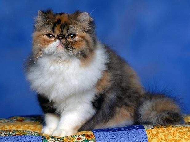 céder son chat persan qu\u0027elle affectionnait.